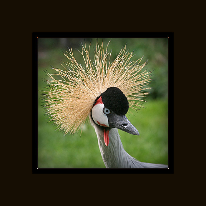 photoblog image East African Crowned Crane......
