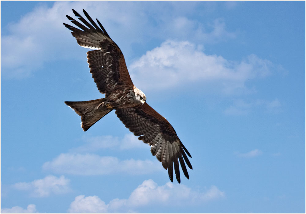 photoblog image Red Kite