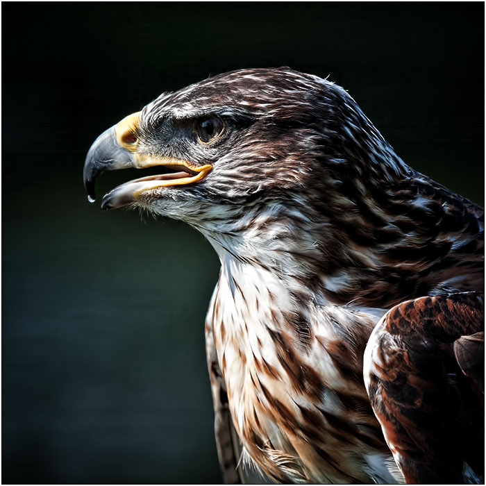 photoblog image The Buzzard