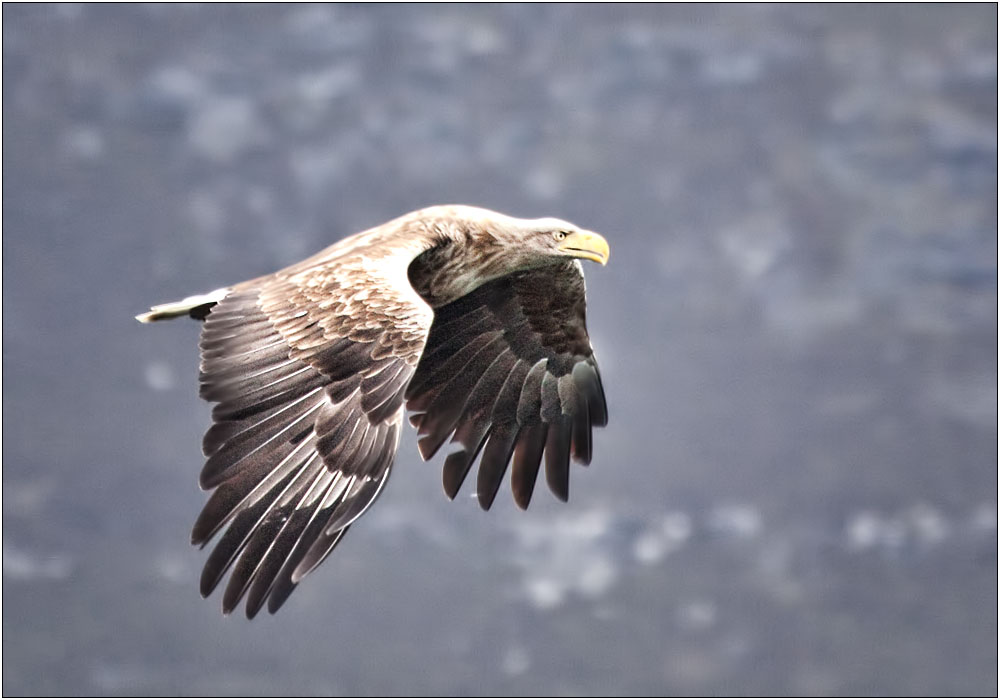 photoblog image Sea Eagle on Loch Na Keal