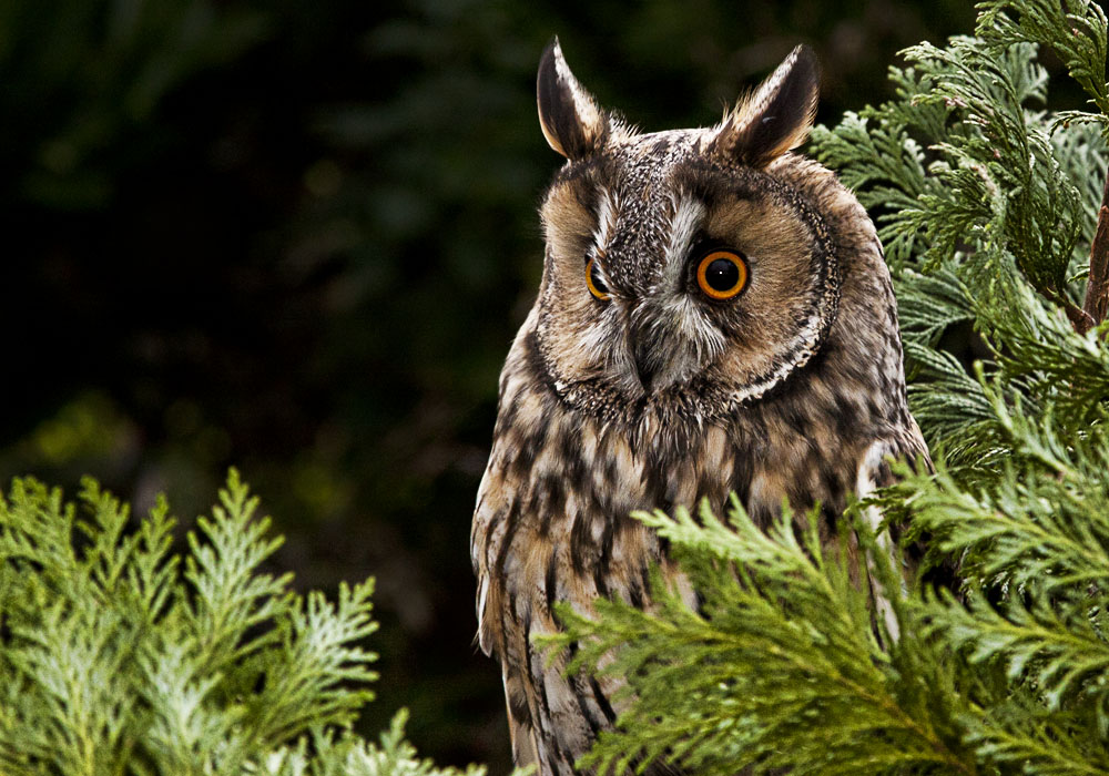 photoblog image Otis the Long Eared Owl