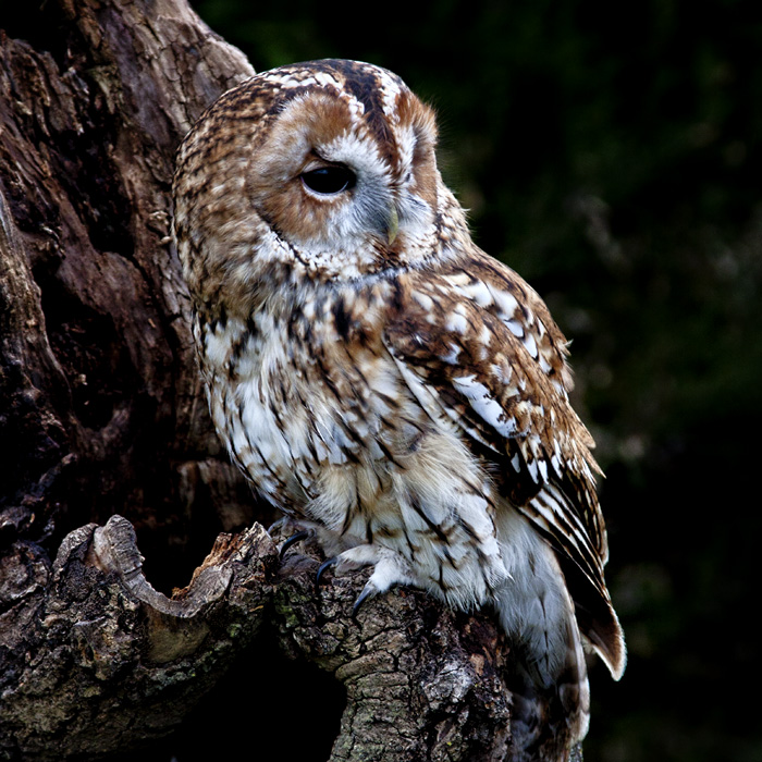 photoblog image Tally the Tawny Owl,