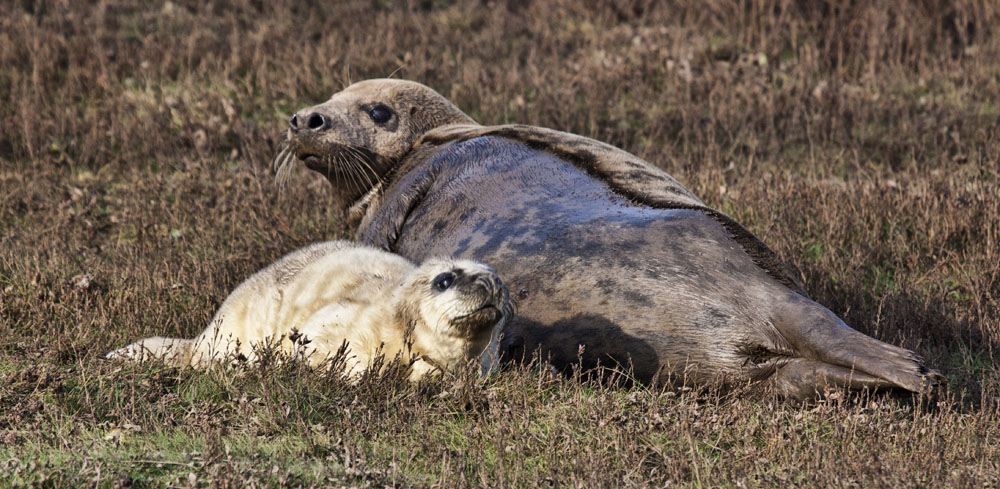 photoblog image Grey Seal with Pup