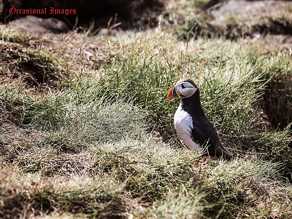 photoblog image The Lonely Puffin