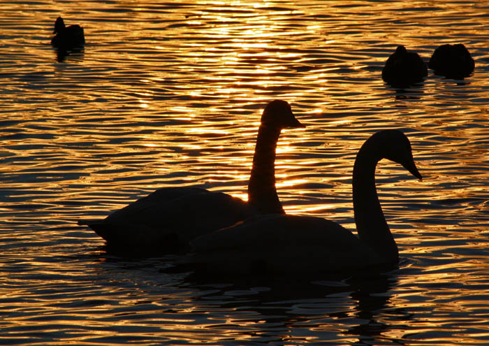photoblog image Swans at sunset